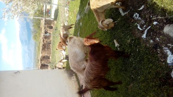 Halep keçisi